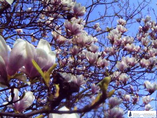 magnolie.png Foto